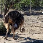 South Africa, Klein Karoo, Ostrich