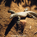 South Africa Lizard | photorpahy by Sebastian Motsch (2012)