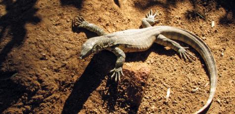 South Africa Lizard | photorpahy by Sebastian Motsch (2012)