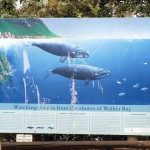 South Africa, Western Cape, Hermanus, Whale watching