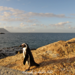 Capetown Penguin South Africa | photography by Sebastian Motsch (2012)