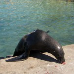 Seal, South Africa, Cape Town, Hout Bay