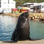 South Africa, Cape Town, Hout Bay, Seal